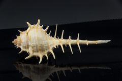 Murex trapa Beautiful sea shell on a black background Stock Photography