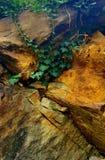murgröna Royaltyfri Fotografi