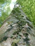 murgröna arkivfoto