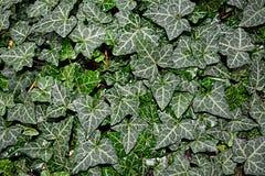 Murgröna Royaltyfri Bild