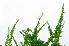 Murgröna arkivbild