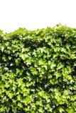 murgröna Royaltyfri Foto