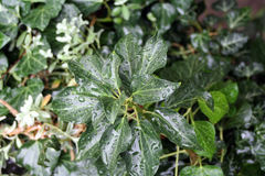 Murgröna efter regn royaltyfria bilder