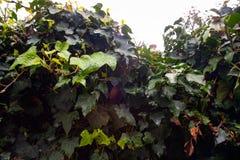 Murgröna efter regnet i trädgården royaltyfria foton