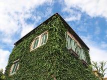 Murgröna eller ranka Fotografering för Bildbyråer