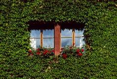 murgröna för 2 boston Arkivbilder