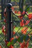 murgröna för 8 garnering Arkivfoto