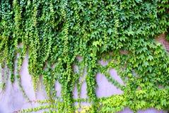 Murgröna - klättra någonsin gröna växter på väggen Arkivbilder