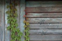 Murgröna längs väggen Arkivbild