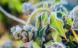 Murgröna med iskristaller på Royaltyfri Bild