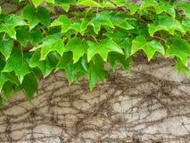 Murgröna mot den gamla väggen Arkivfoton