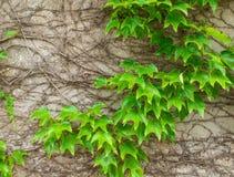 Murgröna mot den gamla väggen Royaltyfria Foton