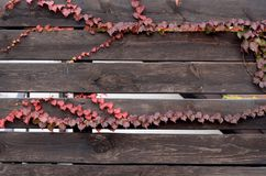 Murgröna på bruna staketbräden Arkivfoto