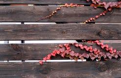 Murgröna på bruna staketbräden Royaltyfria Foton