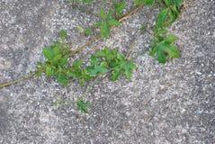 Murgröna på cementväggen Royaltyfria Foton