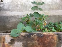 Murgröna på den gamla väggen, gräsplansidor, växt i trädgården arkivfoton