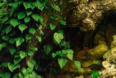 Murgröna på den mossiga trädstammen arkivbild