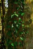 Murgröna på den mossiga trädstammen arkivfoto