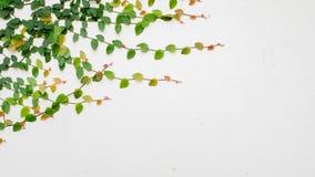 Murgröna på den vita väggen Royaltyfria Bilder