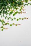 Murgröna på den vita väggen Royaltyfri Foto