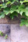 Murgröna på en bana Royaltyfri Foto