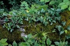Murgröna på en stupad stam Tapet härlig bakgrund Arkivbild