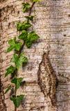 Murgröna på en trädstam Arkivbild