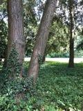 Murgröna på ett träd royaltyfria foton