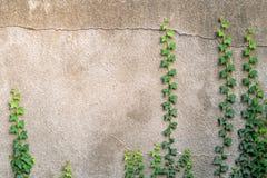 Murgröna på Gray Concrete Plaster Wall fotografering för bildbyråer