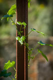 Murgröna på rost royaltyfri bild