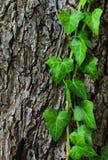 Murgröna på stammen Royaltyfri Foto