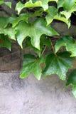 Murgröna på stenen Arkivbild