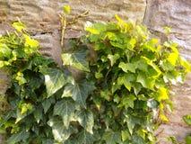 Murgröna på stenväggen Arkivbild