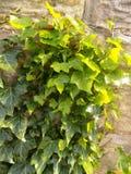 Murgröna på stenväggen Fotografering för Bildbyråer
