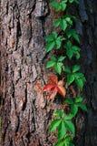 Murgröna på träd Arkivfoton