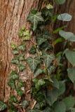 Murgröna på träd Royaltyfria Foton
