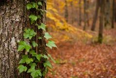 Murgröna på träd Royaltyfri Foto