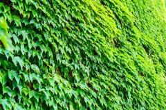 Murgröna på väggen Arkivbild