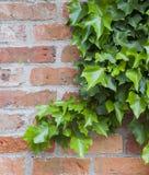 Murgröna på väggen Royaltyfri Fotografi