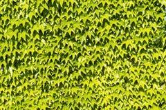 Murgröna på väggen Royaltyfri Bild