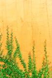 Murgröna på väggen Arkivfoto