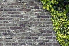 Murgröna på väggen Royaltyfri Foto