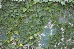 Murgröna på väggen i trädgården royaltyfri bild