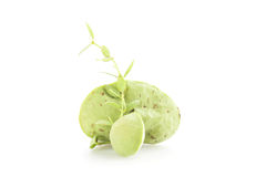 Murgröna på vit bakgrund Royaltyfri Foto