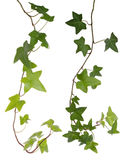 Murgröna som isoleras på vit Arkivbilder