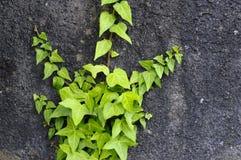 Murgröna som upp klättrar en vägg Arkivbilder