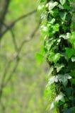 Murgröna som upp växer sidan av ett träd arkivbild