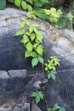 Murgröna som växer på ett stupat träd Arkivfoto