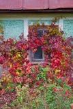 Murgröna-täckt hus Arkivfoto