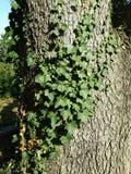 Murgröna under solljus Royaltyfria Bilder